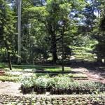غابة كارورا