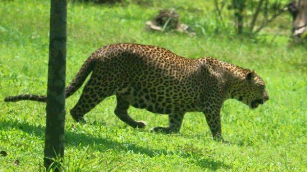 الحيوان الوطنية  e1580266785393 - السياحة في مدينة كولومبو بسريلانكا